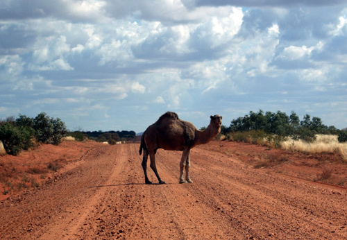 f79b74825ac Thousands of camels in Central Australia have been killed by Government  contractors shooting them from helicopters. The cull comes as concern grows  over the ...