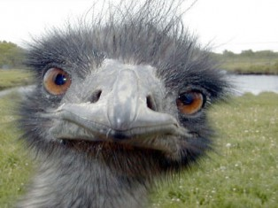 Evil eyes ... Emus can rule the road