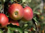 Fruit picking jobs for grey nomads