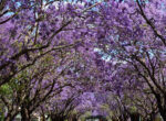 The Jacaranda Festival is a highlight of Grafton