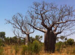 Grey nomads and boab trees photo appeal