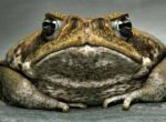 Grey nomads kill cane toads