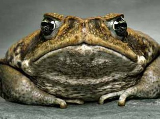 Grey nomads kill cane toads
