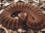Death adder notes at caravan park