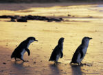Grey nomads flock to Phillip Isalnd in Victoria to see the penguins