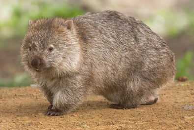 Wombats in Tasmania and possibly nationwide, are under threat from a devastating disease (pic: JJ Harrison)