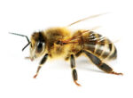 Australian bees and grey nomads