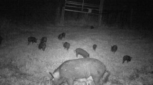 Grey nomads caravan parks and feral pigs