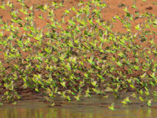 Budgie murmuration in Central Australia