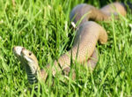 Brown snakes mating