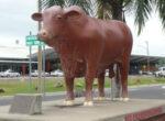 Rockhampton bulls