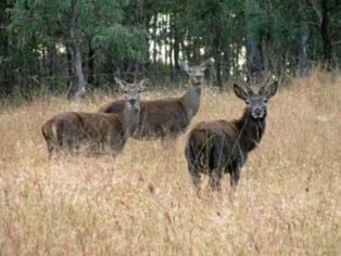 Feral animals