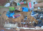 Dingoes near towns