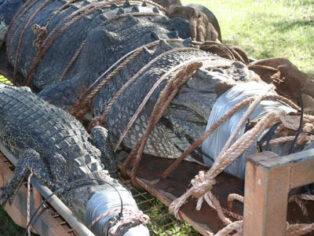 Grey nomads crocodile in Katherine
