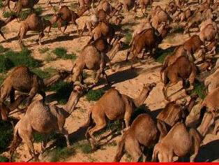 Ferak camels everywhere