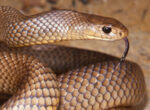 Brown snakes pose risk to grey nomads