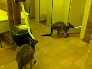 Kangaroos eating toilet paper