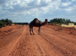 Feral camels often wander onto roads in the Outback