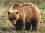 Banff National Park in Canada is home to lots of grizzly bears