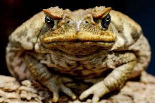 Grey nomads warned on cane toads