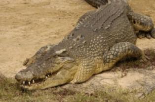 Crocodiles in tropical north
