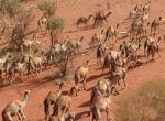 Camel cull helps reduce numbers in Outback Australia