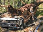 Gum tree death at national park