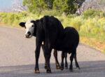 cattle collsion danger
