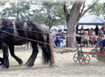St Heliers Heavy Horse Field Days