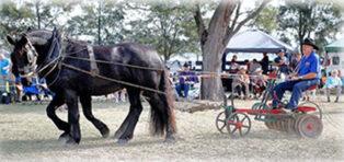 St Heliers Heavy Horse Field Days