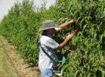 Fruitpicking opportunities for grey nomads