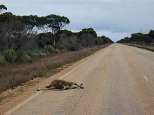 kangaroo collision