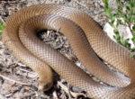 Brown snake scare for grey nomads