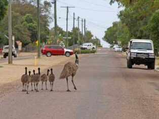 Emus in Longreach delight grey nomads