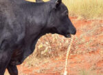 cow eats snake on Sandover Highway