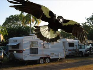 swooping magpies scare grey nomads