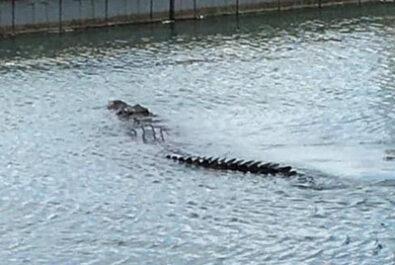 saltwater crocodile at Port Douglas