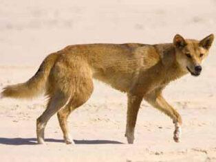 People are still feeding dingoes on Fraser Island