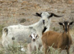 Feral goat attacks bushwalker