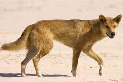 dingo attacks on Fraser Island