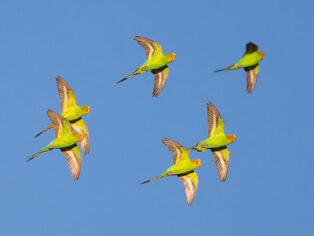 Budgies in the Outback enthralls grey nomads