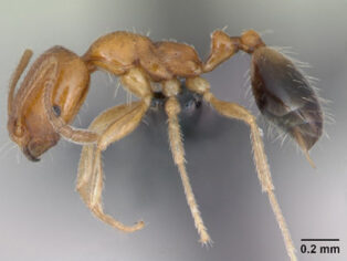 Singapore ant in Gulf Country