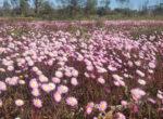grey nomads see wildflowers