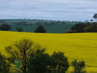 canola fields attract grey nomads
